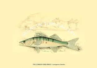 THE COMMON PIKE-PERCH - Lucioperca Sandra